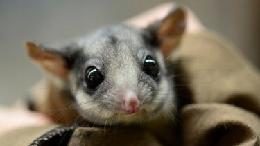 The logging ban aims to protect animals such as Leadbeater's possum, Victoria's critically endangered emblem.