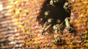 Australian native stingless bees don't produce as much honey as European bees but they could be key to safeguarding Australia's food supply.