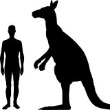 A size comparison of the giant kangaroo compared to a human.
