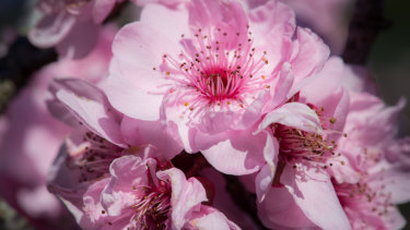 The blossoms include cherry plums (Prunus blireana), Japanese flowering cherry (P.x serrata), Taiwan cherry (P. campanulata), purple cherry plum (P. cerasifera 'Nigra') and peach (P. persica).