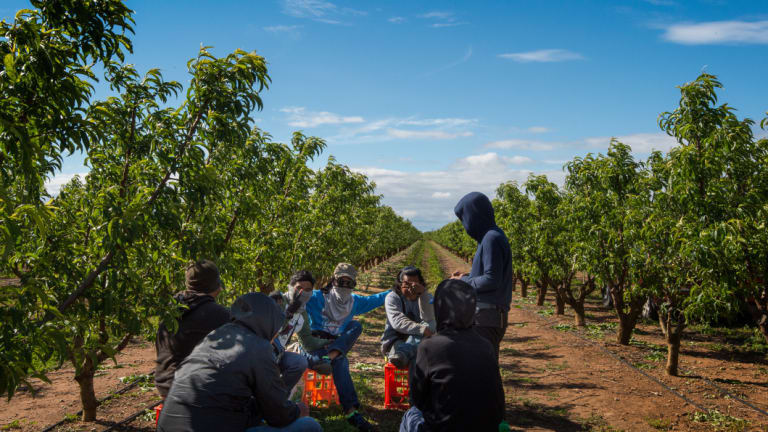 Fruit farms in Victoria's north have sub-contracted workers, many Malaysian, working illegally under shocking conditions. These nervous workers hid their faces from view.