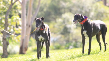 Wrong impression: the requirement that greyhounds be muzzled in NSW can make potential owners wary.