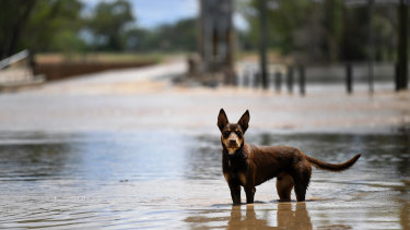 A dog plays in floodwater as the swollen Balonne River cuts the Andrew Nixon Bridge at St George, in Queensland's southern interior.