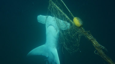 A dead great hammerhead shark found caught in a net near a beach on the Gold Coast.