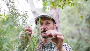 Diego Bonetto foraging for the pink peppercorns of <i>Schinus molle</i>, regarded as a weed in Victoria, to make gin.