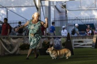 The Pembroke Welsh corgi competition at the Sydney Royal Dog Show.