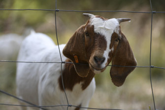 Goats will eat almost anything  - but tend to leave native vegetation.