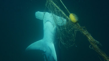 Hammered: A dead great hammerhead shark found caught in a net near a beach on the Gold Coast. Hammerheads are particularly vulnerable to the nets due to the shape of their heads.