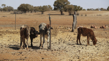 Struggling cattle on a Quilpie property in south-west Queensland, which were seen by Prime Minister Scott Morrison during his drought tour last week.