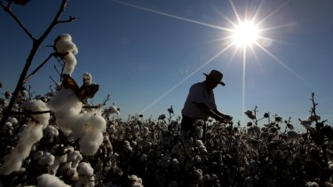 Cotton farming, the 'scapegoat' in the water debate.