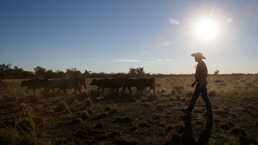 Trangie farmer Mick Wettenhall with the last of his heifers. He will sell them before he buys feed for them.