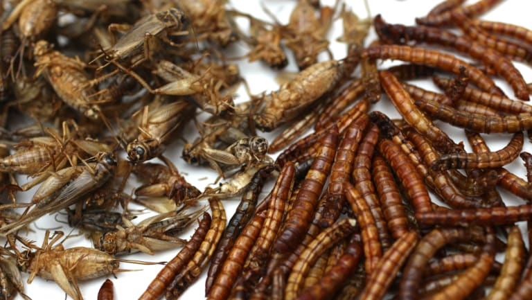 Does it bug you? Crickets and mealworms are among insects grown at the Edible Bug Shop's Sydney headquarters.