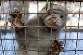 The 'cluster 5' strain of coronavirus connected to mink farms has been identified in 12 people in Denmark.