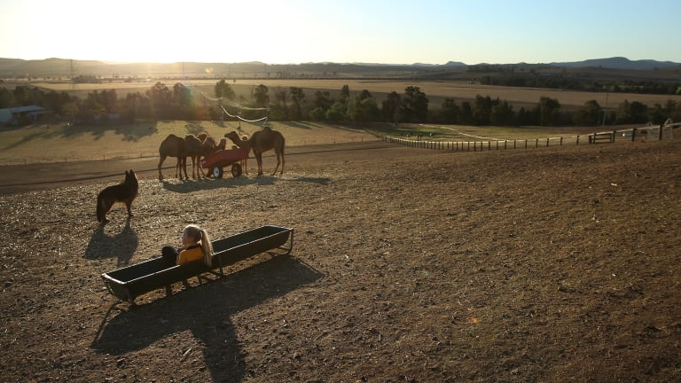Gabriella Phillips, with camels on her family's farm near Muswellbrook in the upper Hunter.
