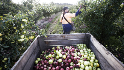 Lack of plans for fruit pickers risks worker exploitation, industry warns