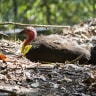 Where to find a three-tonne brush turkey nest near you
