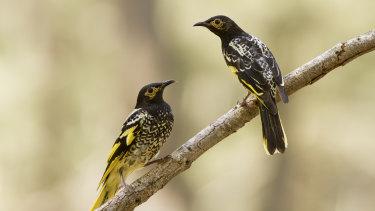 Regent honeyeaters in the Capertee Valley, NSW.