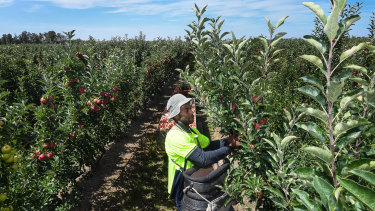 Fredo Gedeon picking royal gala apples on Fruit grower Peter Hall's property.