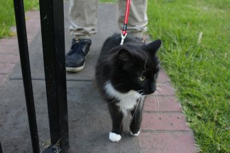 Sherryn's other rescue cat Ziggy heads off on an evening stroll.
