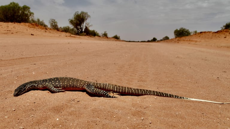 Wildlife like this goanna near Menindee on the Darling - and all other life forms - are being roasted in extreme temperatures across inland Australia.