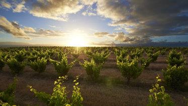 Bush vine grenache growing at Swinney Vineyards in the Frankland River.