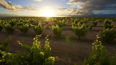 Bush vine grenache thriving at Swinney Vineyards in the Frankland River.