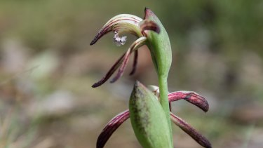 The red beak orchid at Aireys Inlet.