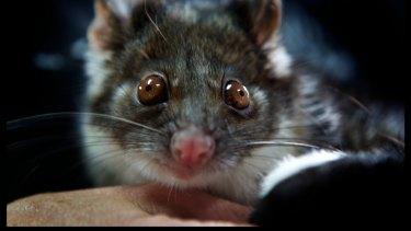 A ringtail possum.