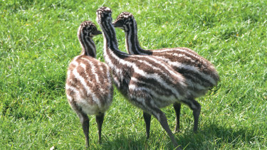 Emu chicks.