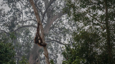 A Borneo orangutan (Pongo pygmaeus) appears to drink from a plastic bottle as the haze from the fires reaches the outskirts of Palangkaraya, Central Kalimantan, Indonesia.