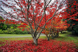 Japanese maples, Acer palmatum, in spectacular autumn color in May.