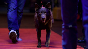 Koko on the red carpet from Koko: A Red Dog Story.