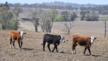 Cattle on a NSW cattle station near Inverell in October 2019.