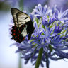 A butterfly on Agapanthus flowers