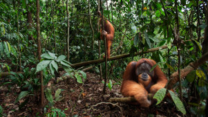 Orangutangs in Indonesia's Gunung Leuser National Park: biodiversity hotspots in the tropics are likely to be disproportionately affected by climate change, new research finds.