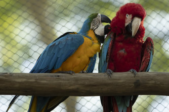 A blue-and-yellow macaw grooms a red-and-green macaw, inside an enclosure at BioParque, in Rio de Janeiro.