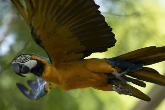 A blue-and-yellow macaw that zookeepers named Juliet flies outside the enclosure where macaws are kept at BioParque, in Rio de Janeiro.