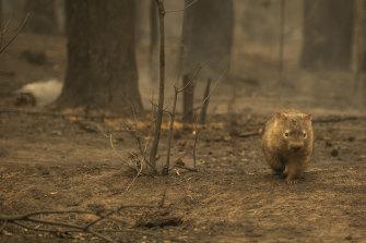 A wombat seen on Tallowa Dam Road in Kangaroo Valley following Saturday night's fire.