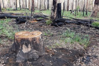A burnt area of the Styx River State Forest in northern NSW. Logging has resumed in the area despite most of the region being burnt.