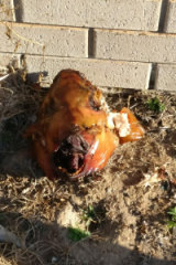 The Muslim community have invited the person who left this pig's head outside their mosque to share a meal.