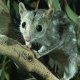 The endangered northern quoll.
