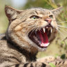 'We're not talking about Garfield': MPs investigate cats' wildlife toll