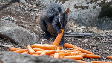 Thousands of kilograms of carrots and sweet potatoes have been delivered to animals  in fire-affected areas in NSW