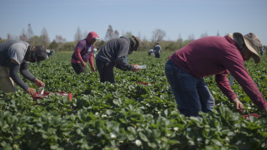 The fruit pickers currently working the strawberry fields of G&D Farms in Duette, Florida.