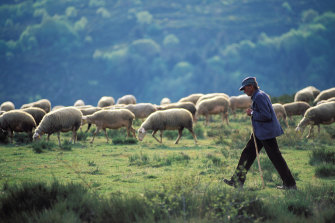 A shepherd with his sheep in Cevennes National Park, France.