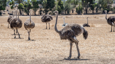 Ostriches have eyes bigger than their brains and need constant care. Hastings says without farming, the prehistoric bird would be extinct.