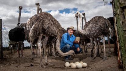 Sex work meets dinosaur farm: Australia's last ostrich farm