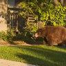 Wandering bear visits Los Angeles suburb
