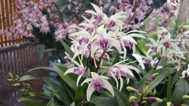 Dendrobium delicatum, Purple Heart.