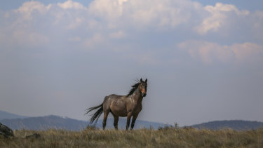 Labor would resume the removal of feral brumbies from the Snowy Mountains if elected to office in March.